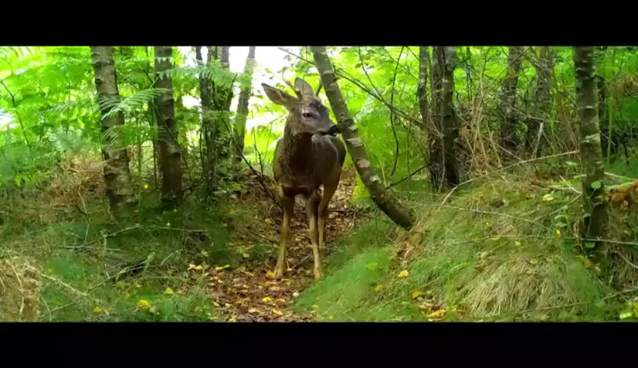 Zorros, jabalíes y lobos grabados a cámara oculta en parques eólicos de Galicia
