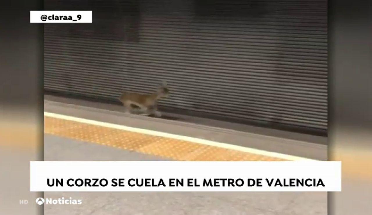 Pasajero inesperado, un corzo recorre las vías del metro de Valencia