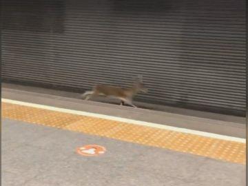 El corzo en el metro de Valencia