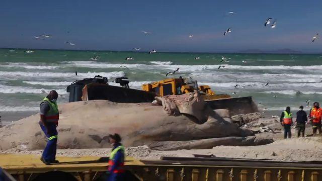 VÍDEO: Usan dos grandes excavadoras para sacar el gigantesco cuerpo de una ballena muerta en una playa