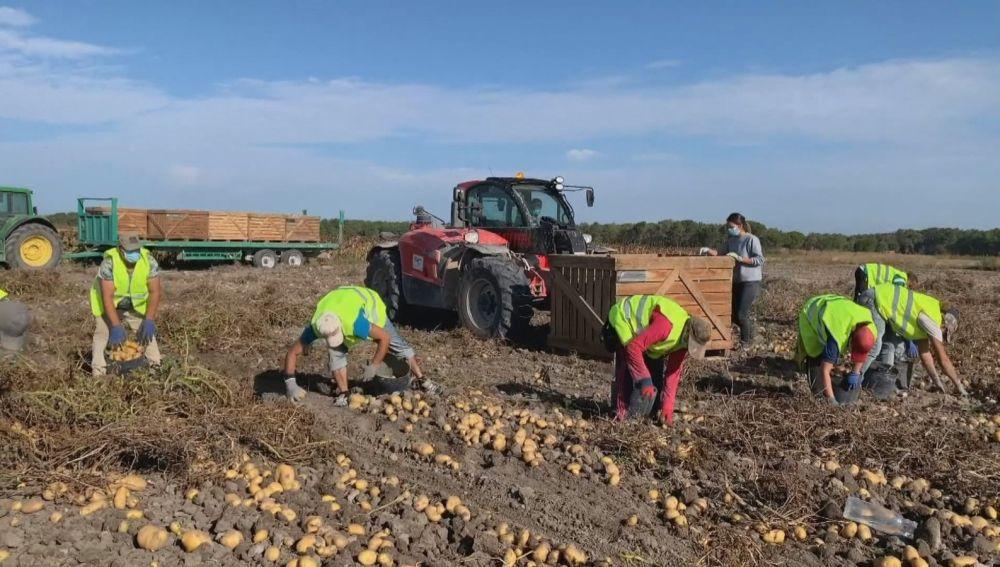 Recolección de patatas