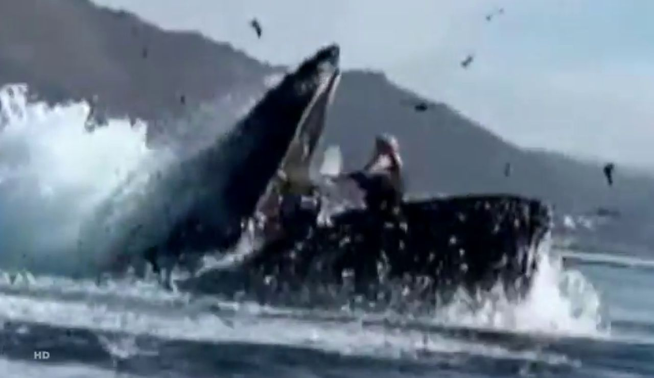 Una ballena jorobada se 'traga' a dos kayakistas en California
