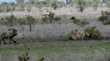 VÍDEO: Una leona le muestra a un león quién manda realmente