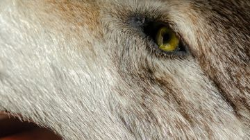 Lobo (archivo)