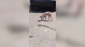 Un vídeo muestra la incréible transformación de un perro callejero hambriento a lo largo de un año
