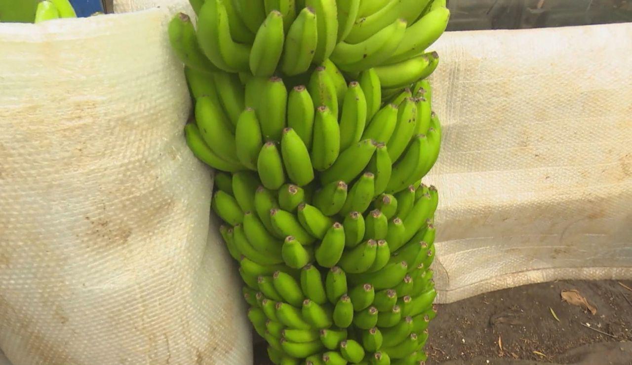 El plátano de Canarias, un producto rico y sostenible