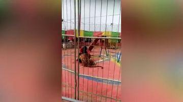 El terrorífico momento en que un tigre ataca a su entrenador en un circo de China