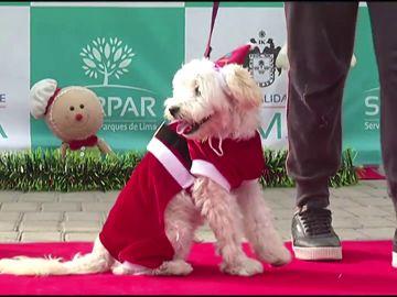 El peculiar desfile de perros con trajes de Navidad para pedir que se prohíban los fuegos artificiales en Perú