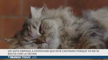 Un gato empieza a sospechar que está castrado porque ya no se excita con la vecina de al lado
