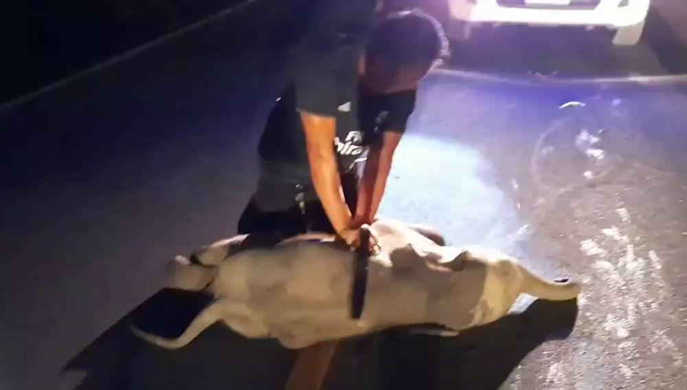 Un bebé elefante se marcha caminando después de recibir reanimación tras ser atropellado