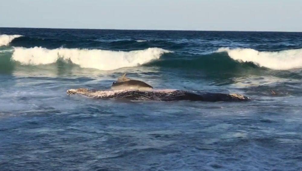 Graban el brutal momento en que un tiburón devora a una ballena varada en una playa