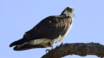 Águila