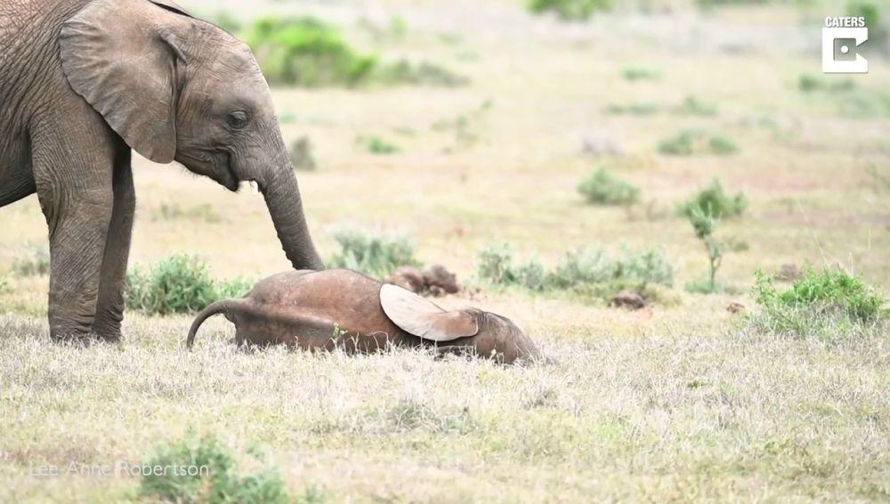 Un elefante hace cosquillas a su hermano pequeño con la trompa