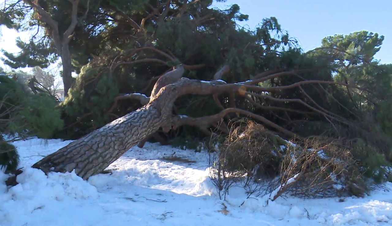 Árboles caídos por la nieve del temporal Filomena