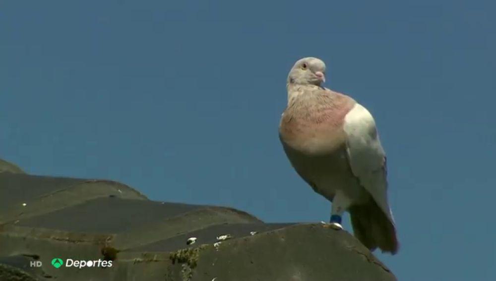 Australia perdona la vida a Joe, una paloma de carreras que se creía había llegado desde Estados Unidos