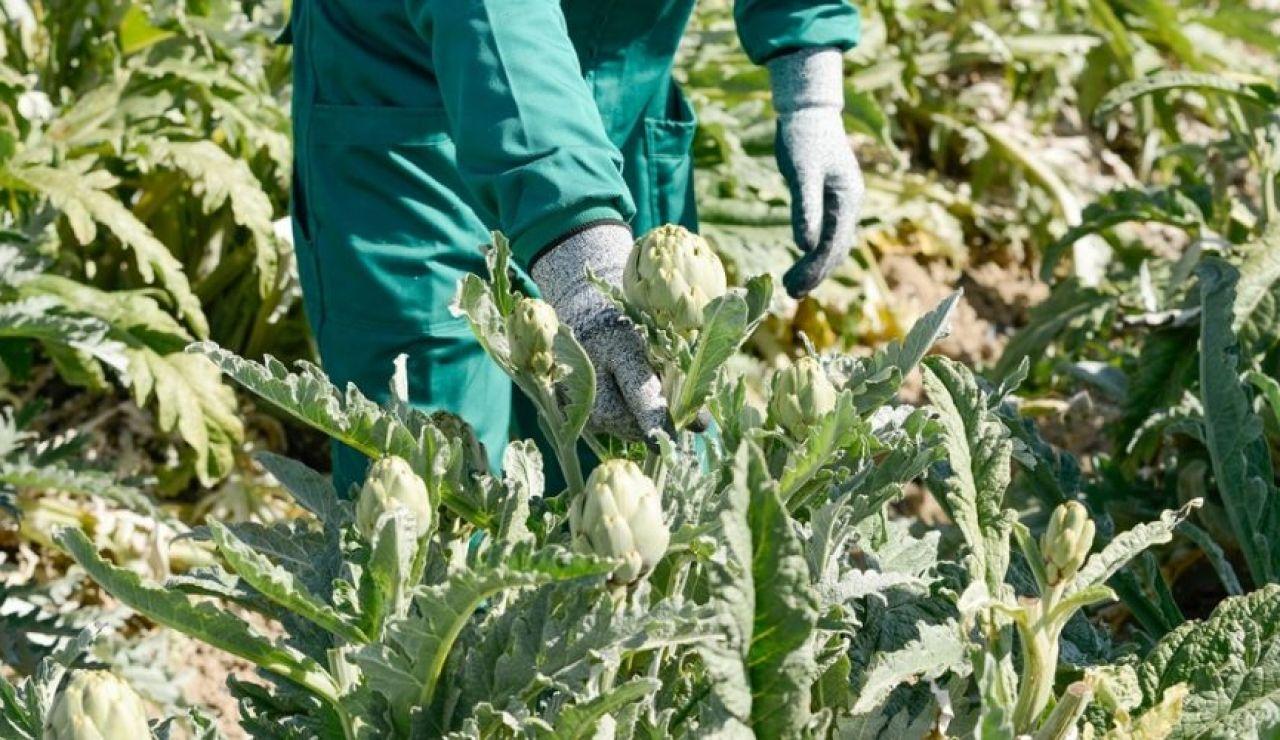 La agricultura de la Vega Baja muy beneficiada por la lluvia y las bajas temperaturas que no llegaron a helar