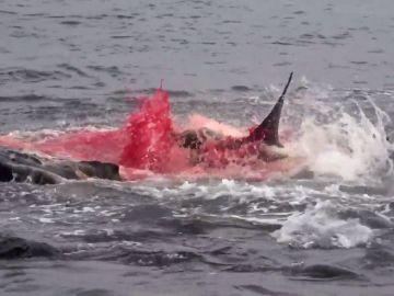 El brutal ataque de un tiburón contra un león marino grabado en las Islas Galápagos