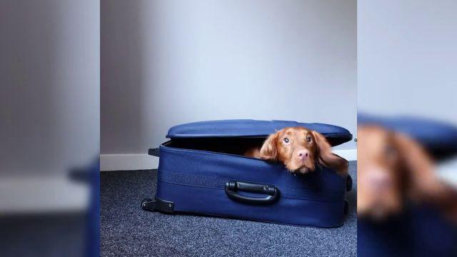 VÍDEO: Un perro inteligente abre una maleta y se mete dentro