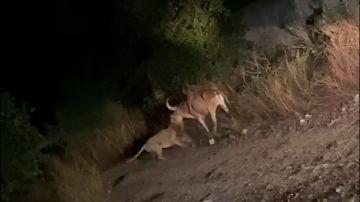 VÍDEO: Graban a una leona asiática peleando a muerte con un toro