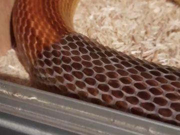 VÍDEO: Esta serpiente mudando su piel es escalofriantemente satisfactoria