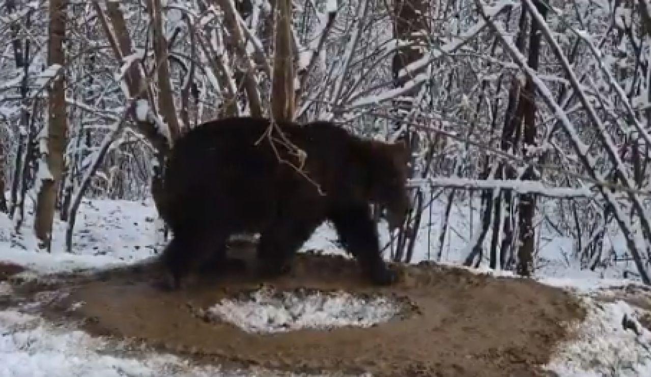 Oso liberado de un zoológico