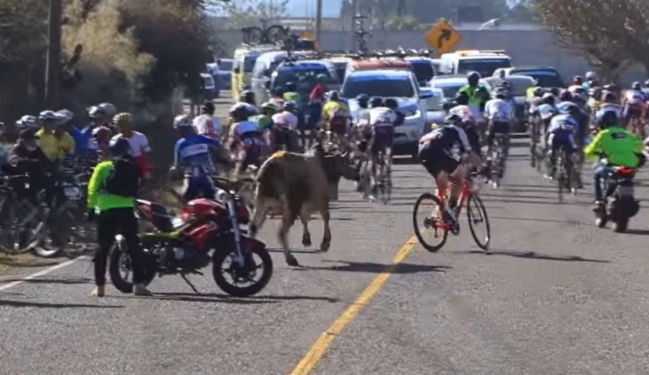 Un toro embiste contra un pelotón de ciclistas en plena etapa