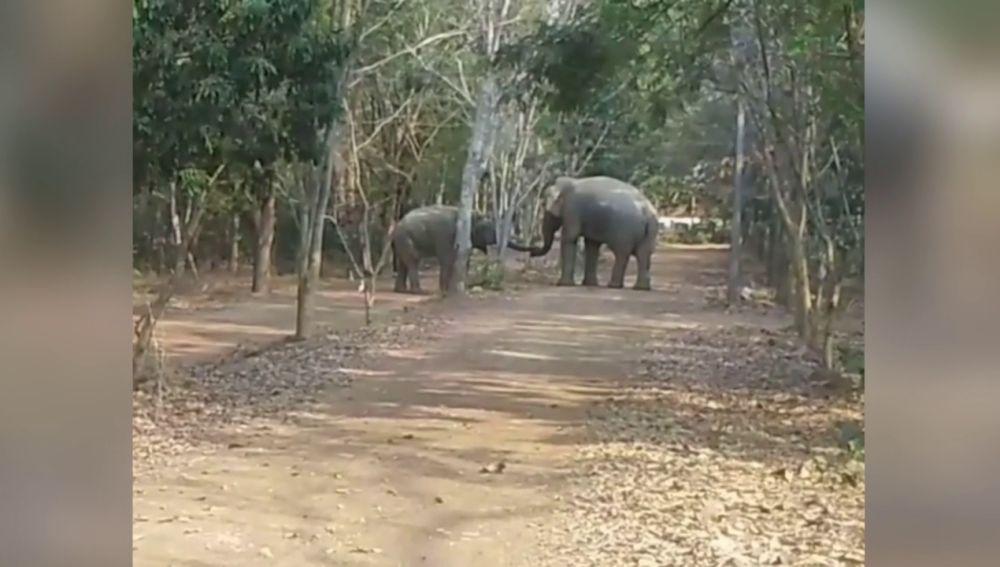 Dos elefantes machos se chocan sus trompas para reconciliarse después de semanas peleándose por la misma hembra