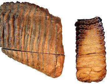 diente de mamut