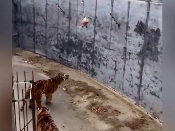 Visitantes de un zoo intentan alimentar a un tigre con una gallina viva