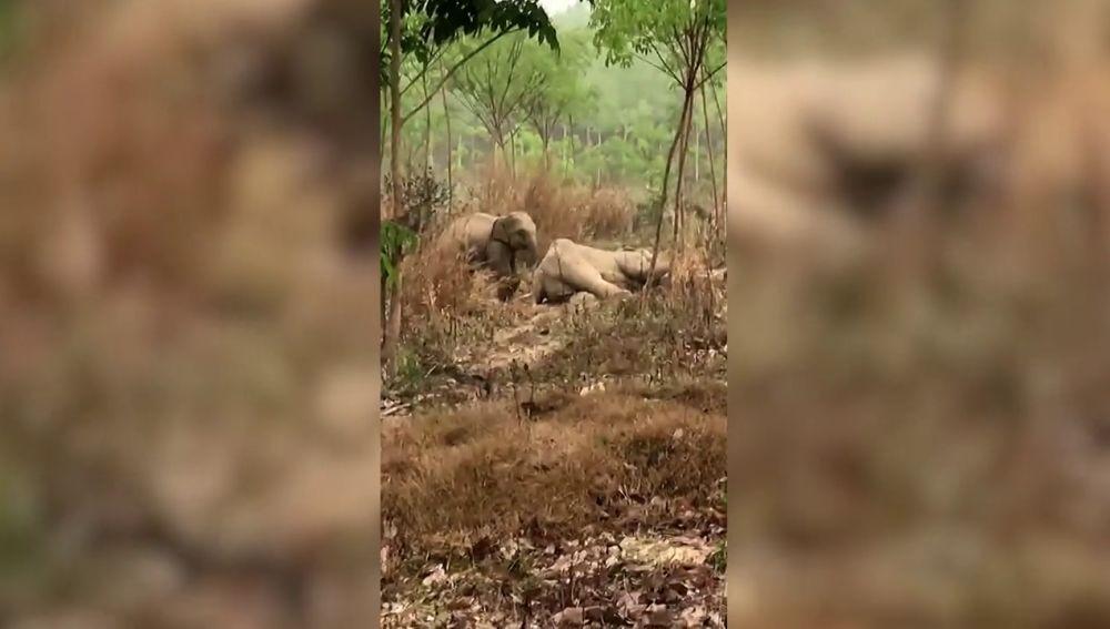 Una cría de elefante protege a su madre enferma de los veterinarios