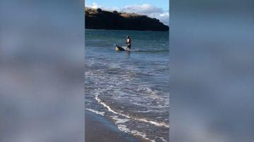 VÍDEO: Rescatan a una oveja del océano en Tasmania