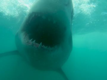 VÍDEO: Un gran tiburón blanco aparece fuera del agua turbia y se lanza a la cámara