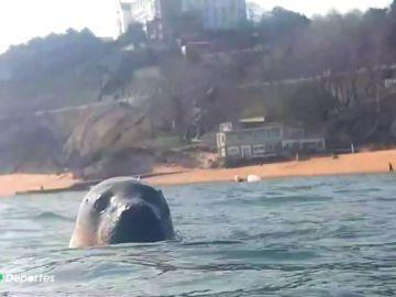 La entrañable historia de un submarinista y una foca en la Playa de la Magdalena, Santander