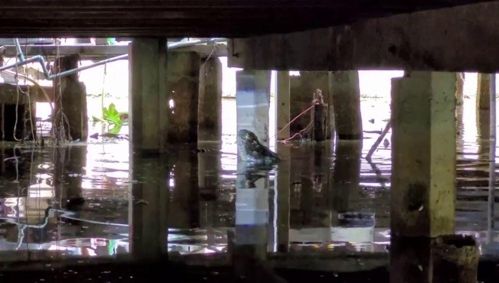VÍDEO: Vecinos de un pueblo en Tailandia aterrorizados al encontrar un enorme cocodrilo viviendo debajo de sus casas