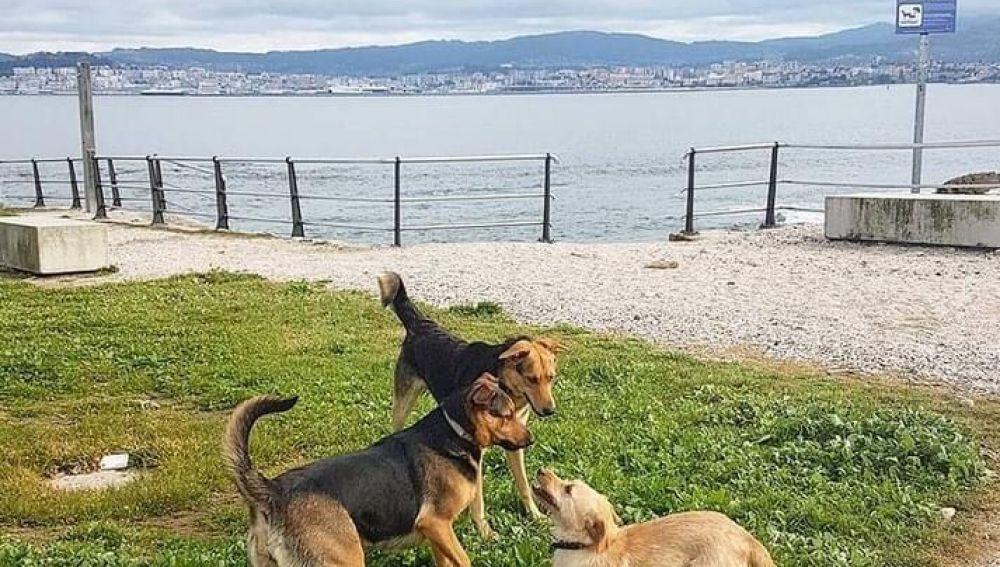 Tres perros jugando a la orilla de la costa gallega.