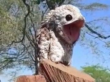 El pájaro potoo que se encontró la mujer.