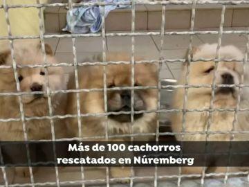 Rescatados 101 cachorros hacinados en un vehículo que iban a ser vendidos en Bélgica