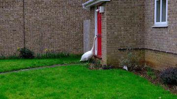 Estos vecinos se hartan de un ganso que lleva troleándoles durante años