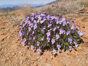 Una nueva violeta en el Teide, un tesoro natural difícil de alcanzar