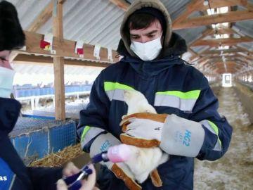 Rusia aprueba vacunas contra el coronavirus para animales con un 90% de efectividad