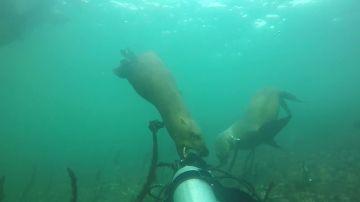 Un buceador es mordido en la cabeza por un león marino en el océano Pacífico