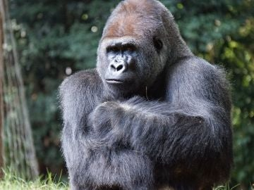 Un gorila con los brazos cruzados