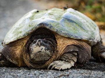 Encuentran una tortuga mordedora potencialmente peligrosa en Huelva