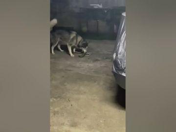 Dos perros pelean con una serpiente para proteger a su dueño en Tailandia