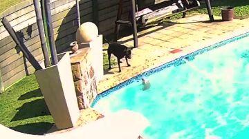 Un heroico perro salva a su pequeño amigo de ahogarse en la piscina de su casa