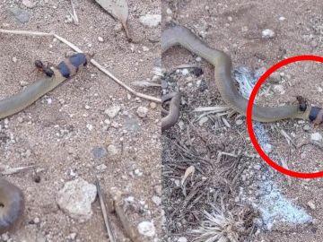Serpiente peleando con una hormiga