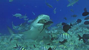 VÍDEO: Un tiburón tigre hambriento se come una gran roca