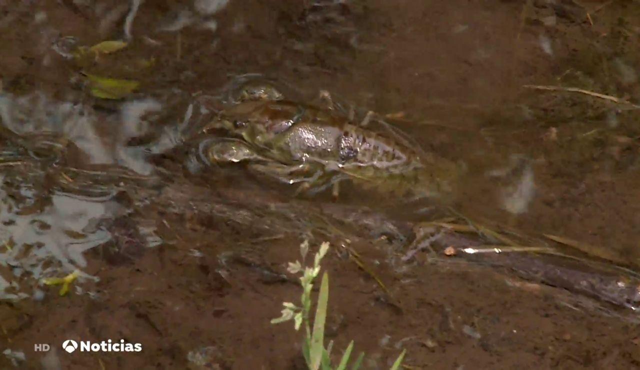 El cangrejo de río español, a punto de extinguirse por culpa de la introducción del cangrejo rojo americano
