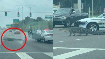 Caimán cruzando una carretera en Florida