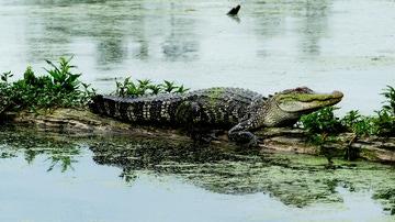 Aligator américano